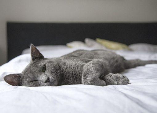 Сива котка, легнала на легло с бял чаршаф